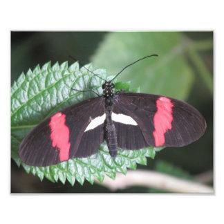 Postman Butterfly Photo Print
