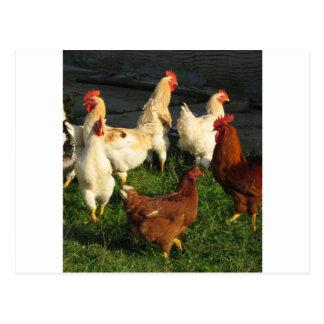 Poultry Postcard