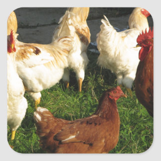 Poultry Square Sticker