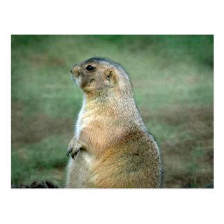 Prairie Dog Sitting, Left Profile Post Card