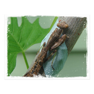 Praying Mantis Insect Post Cards