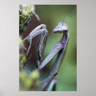 Praying Mantis Poster