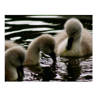 Precious Ducklings Postcard
