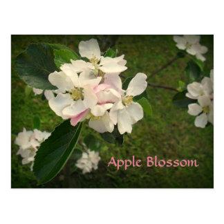 Pretty Apple Blossom Postcard