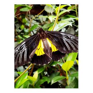 pretty black yellow butterfly photograph postcard