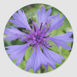 Pretty blue cornflower classic round sticker
