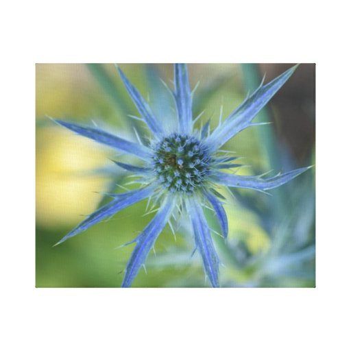 Pretty Blue Globe Thistle Stretched Canvas Print