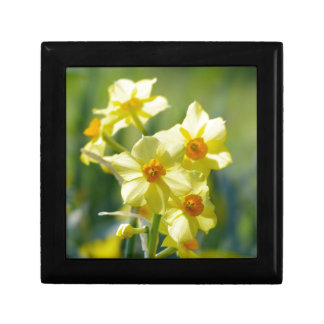 Pretty Daffodils, Narcissus 03.1 Gift Box