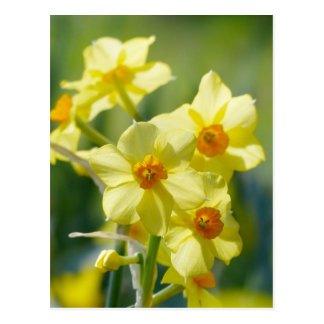 Pretty Daffodils, Narcissus 03.1 Postcard