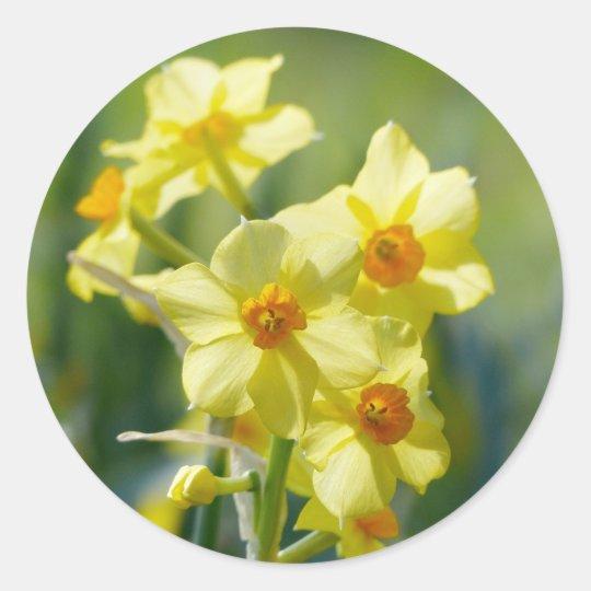Pretty Daffodils, Narcissus 03.1 Round Sticker