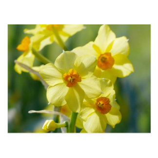 Pretty Daffodils, Narcissus 03.2 Postcard