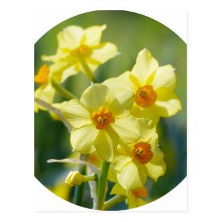 Pretty Daffodils, Narcissus 03.2_rd Postcard