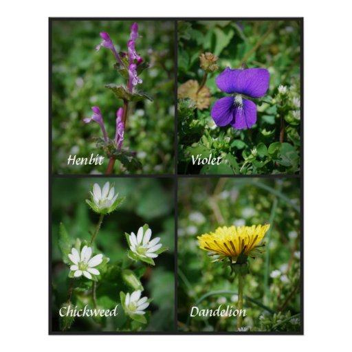 Pretty Edible Weeds poster