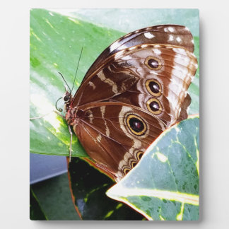 pretty eye butterfly moth brown tan picture bug display plaques