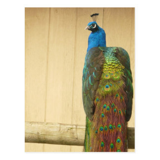 Pretty Peacock on Fence Postcard