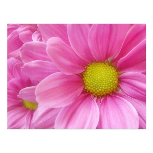 Pretty Pink Daisy postcard
