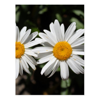 Pretty pure white daisy flowers postcard
