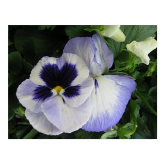 Pretty Purple Pansy Flowers Postcard
