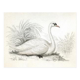 Pretty Vintage Swan Illustration Postcard