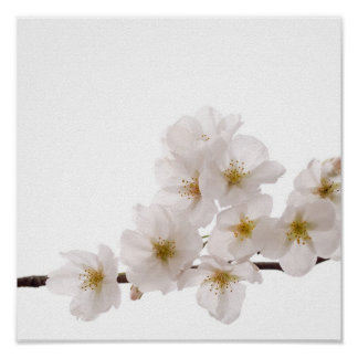 Pretty White Cherry Blossoms Poster