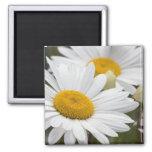 Pretty White Daisies Fridge Magnets