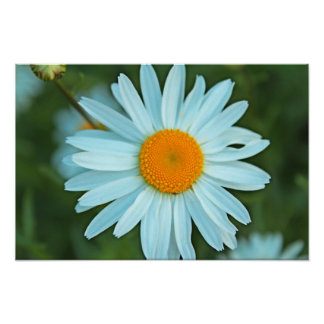 pretty white daisy flowers picture. poster