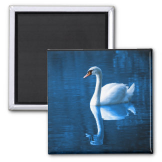 Pretty white swan floating on a blue lake square magnet
