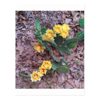Prickly Pear Cactus Flowers Postcard