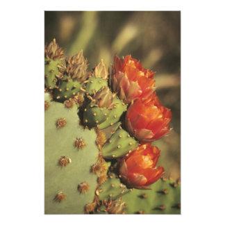 Prickly pear cactus in bloom, Arizona-Sonora 2 Photographic Print