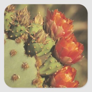 Prickly pear cactus in bloom, Arizona-Sonora 2 Square Sticker