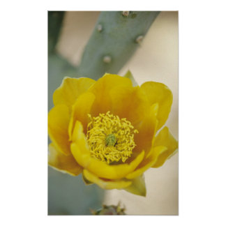Prickly pear cactus in bloom, Arizona-Sonora Posters