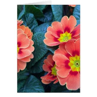 primrose card