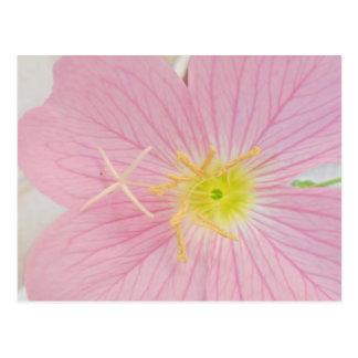 primrose pink postcard
