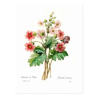 Primula sinensis postcard