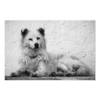 Print - Alert White Dog on Santorini, Greece
