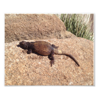 Print Art Photo Chuckwalla