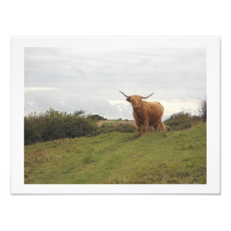 Print - Highland Cow on The North Downs, England