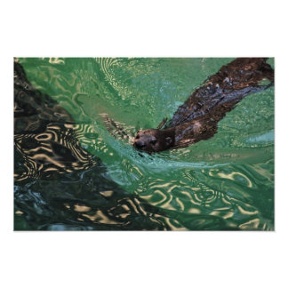 Print: Oriental Small-Clawed Otter Poster