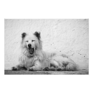 Print - Yawning White Dog on Santorini, Greece