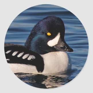 Profile of a Barrow's Goldeneye Classic Round Sticker