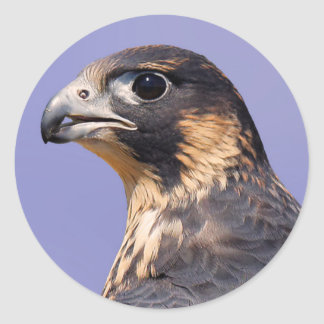 Profile of a Juvenile Peregrine Falcon Classic Round Sticker