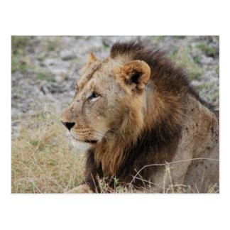 Profile of a Lion Postcard