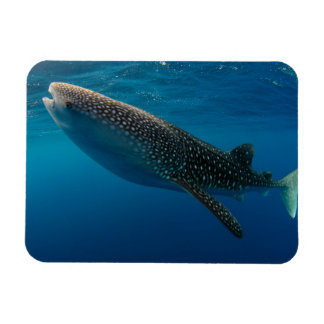 Profile of a whale shark, Indonesia Magnet