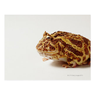 Profile of Argentine Horned Frog Postcard