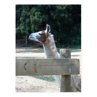 Profile of Llama Postcard