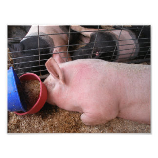 Profile of Pink Pig Laying Down by Food Bowls Photo Art