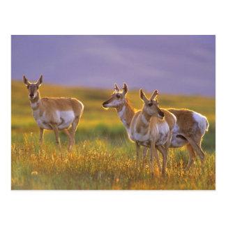 Pronghorn Antelope in Montana Postcard