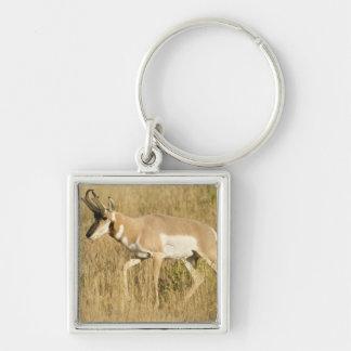 Pronghorn, Antilocapra americana, in a field Key Chain