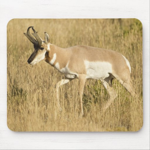 Pronghorn, Antilocapra americana, in a field Mouse Pad
