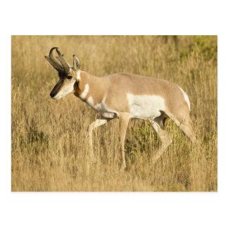 Pronghorn, Antilocapra americana, in a field Postcard